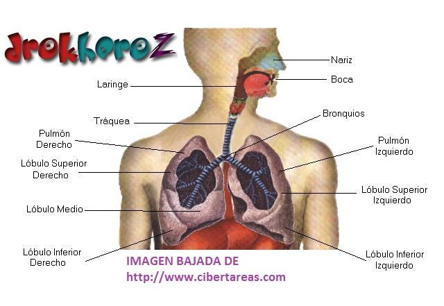 Aparato Respiratorio – Anatomía | CiberTareas
