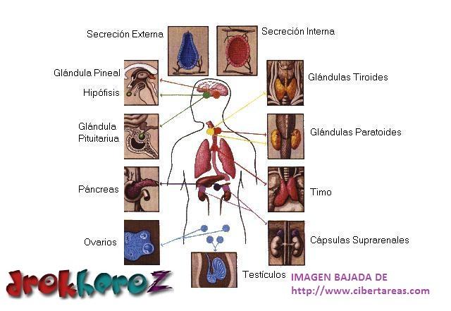 Sistema Hormonal o Sistema Endocrino – Anatomía | CiberTareas