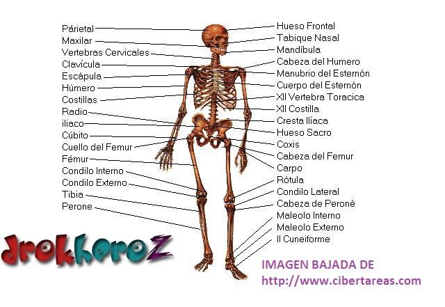 Sistema Oseo – Anatomía | CiberTareas