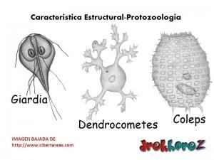 Tamaño de los Protozoarios-Caracteristica Estructural-Protozoologia 0