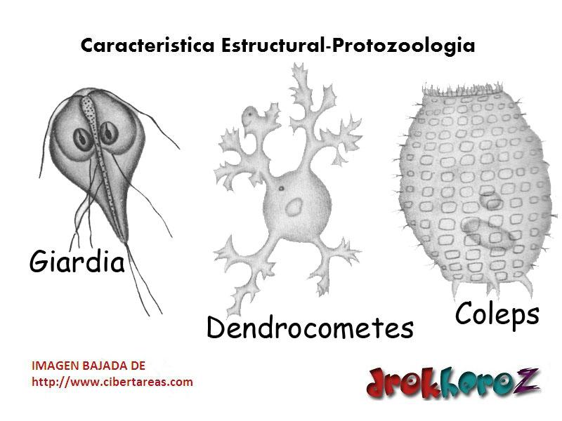 tama u00f1o de los protozoarios