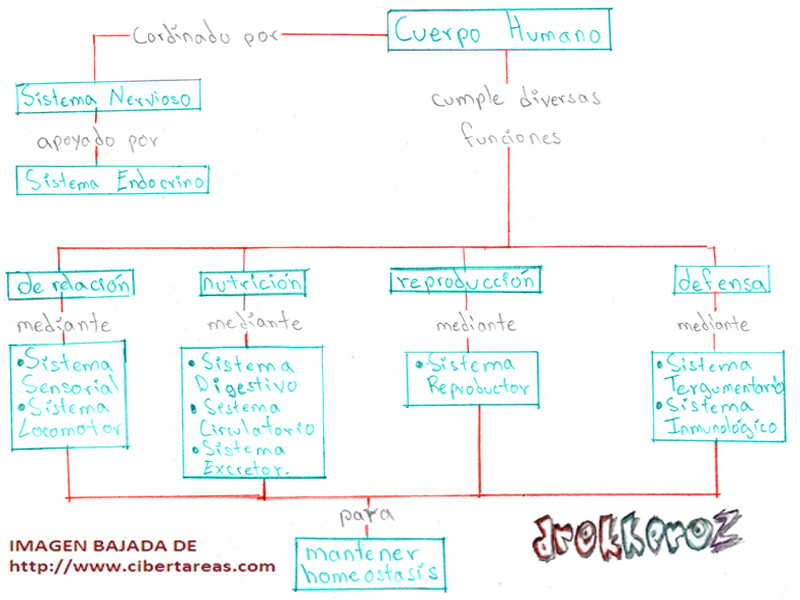 Cuerpo Humano-Mapa Conceptual-Ciencias de la Salud_1 | CiberTareas