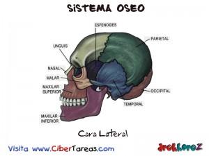 Cara Lateral-Sistema Oseo