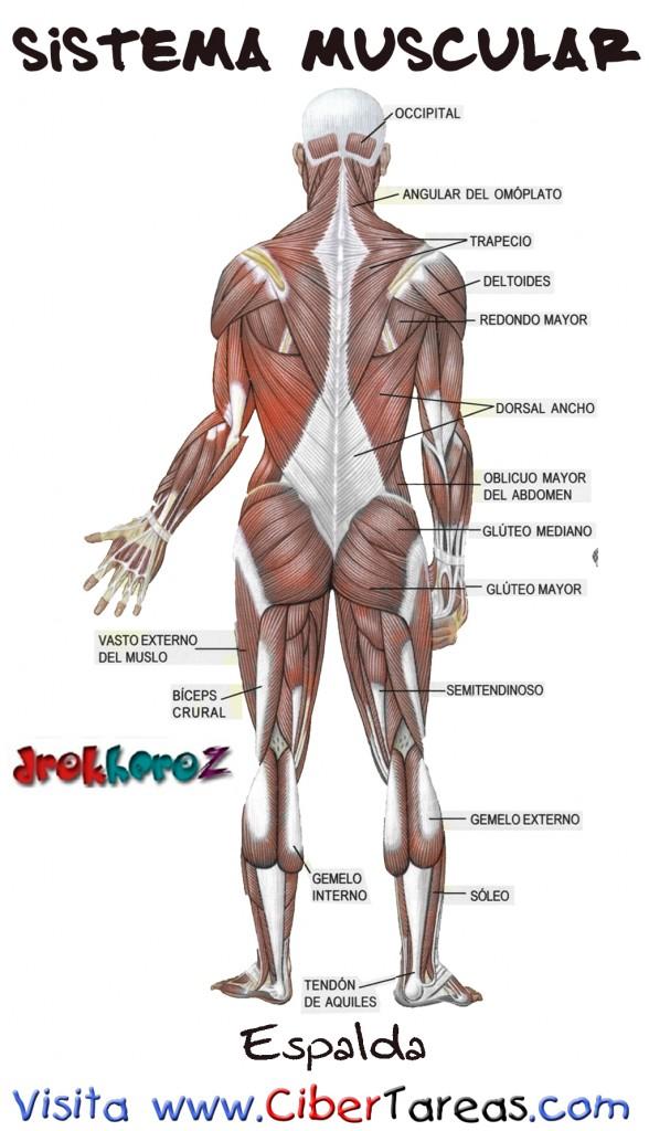 Espalda – Sistema Muscular | CiberTareas