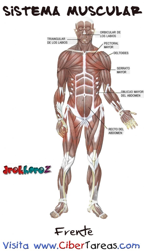Frente – Sistema Muscular | CiberTareas