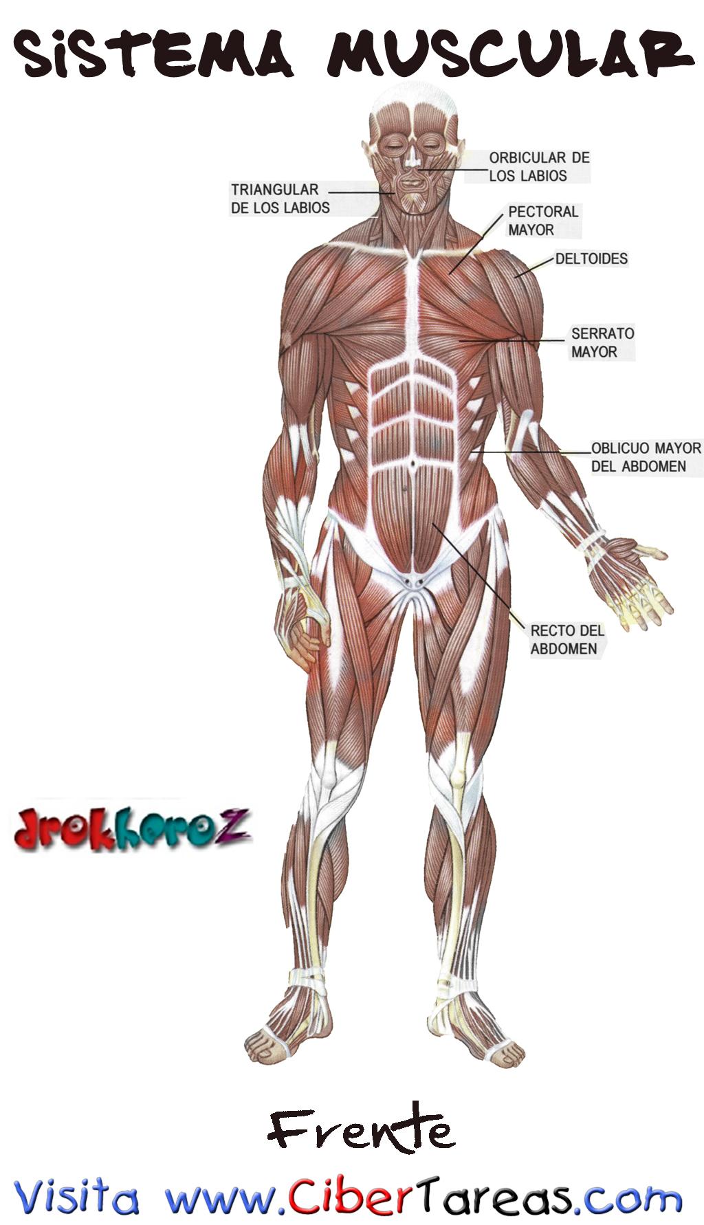 Increíble Diagrama De Sistema Muscular Básica Modelo - Anatomía de ...