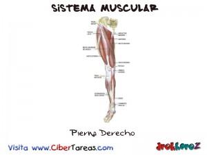 Pierna Derecho-Sistema Muscular
