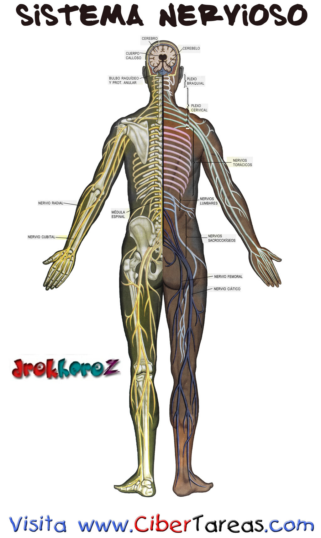 Sistema Nervioso | CiberTareas