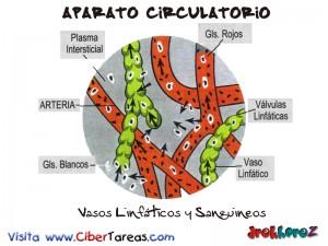 Vasos Linfaticos y Sanguineos-Aparato Circulatorio