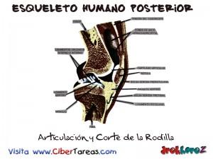Articulacion y Corte de la rodilla-Esqueleto Humano Posterior