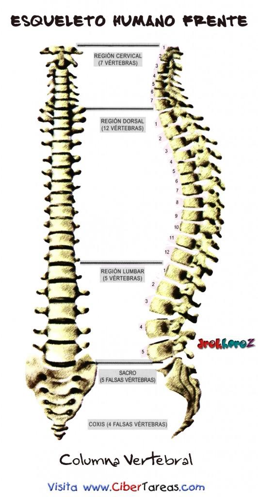 Columna Vertebral-Esquelo Humano Frente