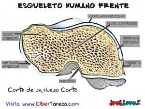 Corte de Hueso Corto-Esqueleto Humano Frente