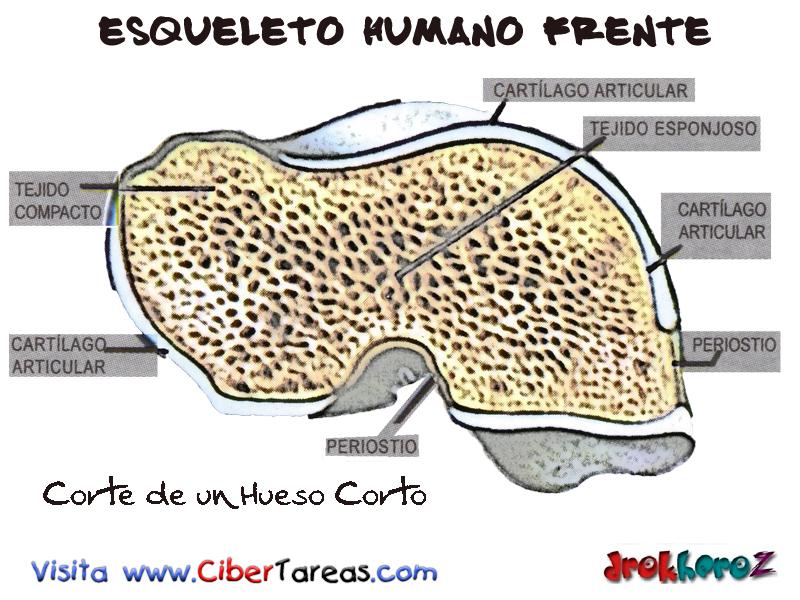 Corte de Hueso Corto – Esqueleto Humano Frente | CiberTareas