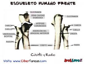 Cubito y Radio-Esqueleto Humano Frente