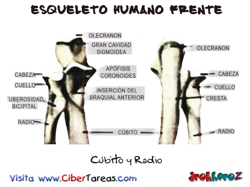 Cúbito y Radio – Esqueleto Humano Frente | CiberTareas