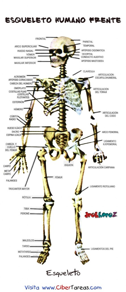 Esqueleto Humano Frente 445x1024