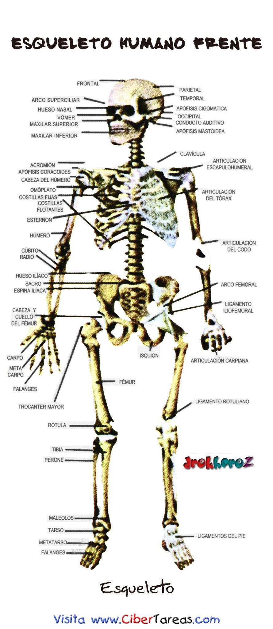 Esqueleto Humano Frente | CiberTareas