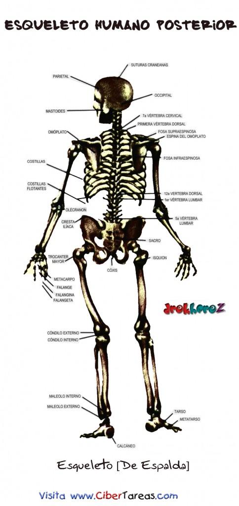 Esqueleto Humano Posterior