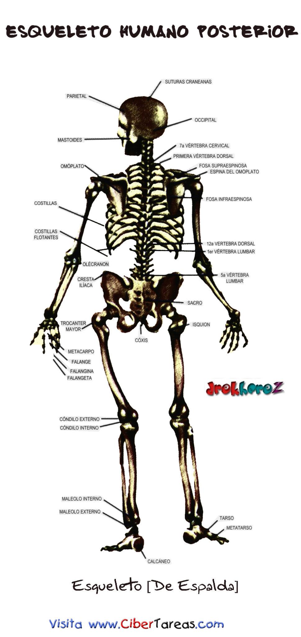 Esqueleto Humano Posterior | CiberTareas