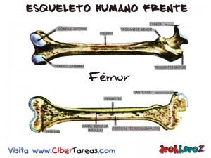 Femur-Esqueleto Humano Frente