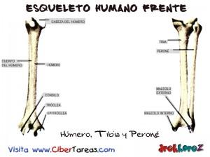 Humero, Tibia y Perone-Esqueleto Humano Frente
