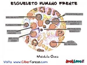 Medula Osea-Esqueleto Humano Frente