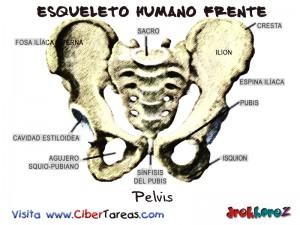Pelvis-Esqueleto Humano Frente