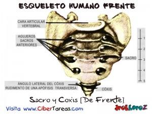 Sacro y Coxis [De Frente]-Esqueleto Humano Frente