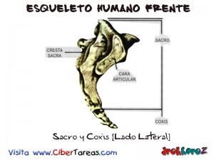 Sacro y Coxis [Lado Lateral]-Esqueleto Humano Frente