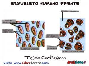 Tejido Cartilagioso-Esqueleto Humano Frente