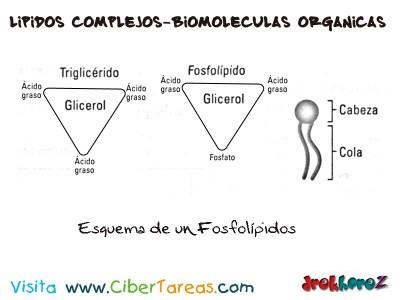 Formacion de un Triglicerido-Lipidos Simples-Biologia 1