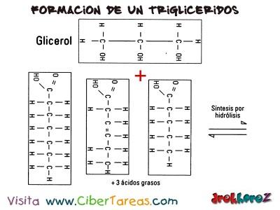 Formacion de un Trigliceridos 1 -Lipidos Simples-Biologia 1