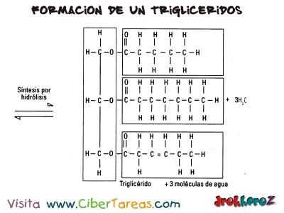 Formacion de un Trigliceridos 2 -Lipidos Simples-Biologia 1