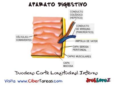 Duodeno Corte Longitudinal Interno-Aparato Digestivo