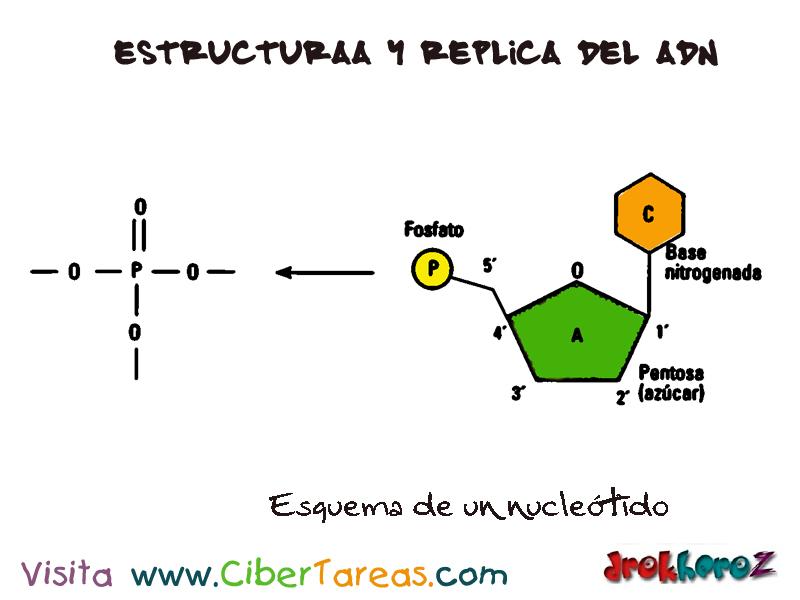 Un Nucleótido Estructura Y Replica Del Adn Biología 1
