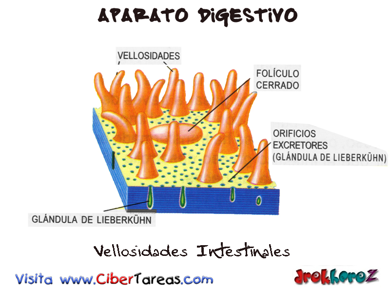 Vellosidades Intestinales – Aparato Digestivo | CiberTareas