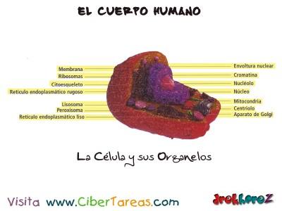 La Celula y sus Organelos_el cuerpo humano_Ciencias de la Salud