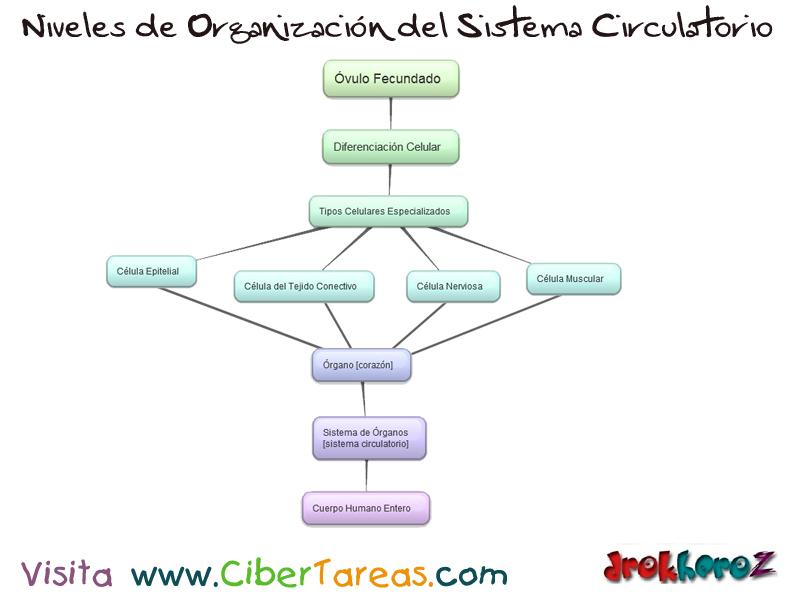 Niveles de Organización del Sistema Circulatorio – Ciencias de la ...