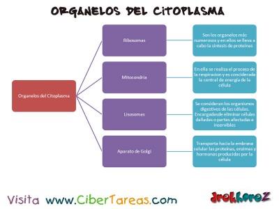 Organelos del citoplasma_el cuerpo humano_Ciencias de la Salud
