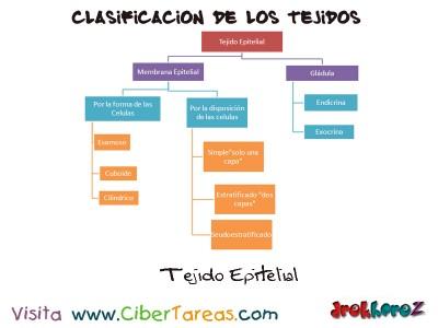 Tejido Epitelial_clasificacion de los tejidos_Ciencias de la Salud