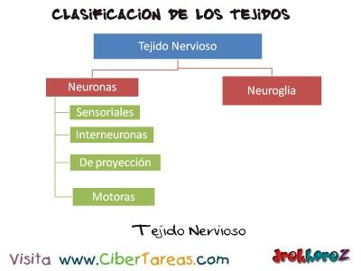 Tejido Nervioso_clasificacion de los tejidos_Ciencias de la Salud