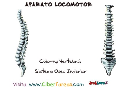 Columna Vertebral _Sistema Oseo - Aparato Locomotor