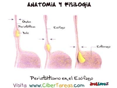 Esofago - Ciencias de la Salud_1