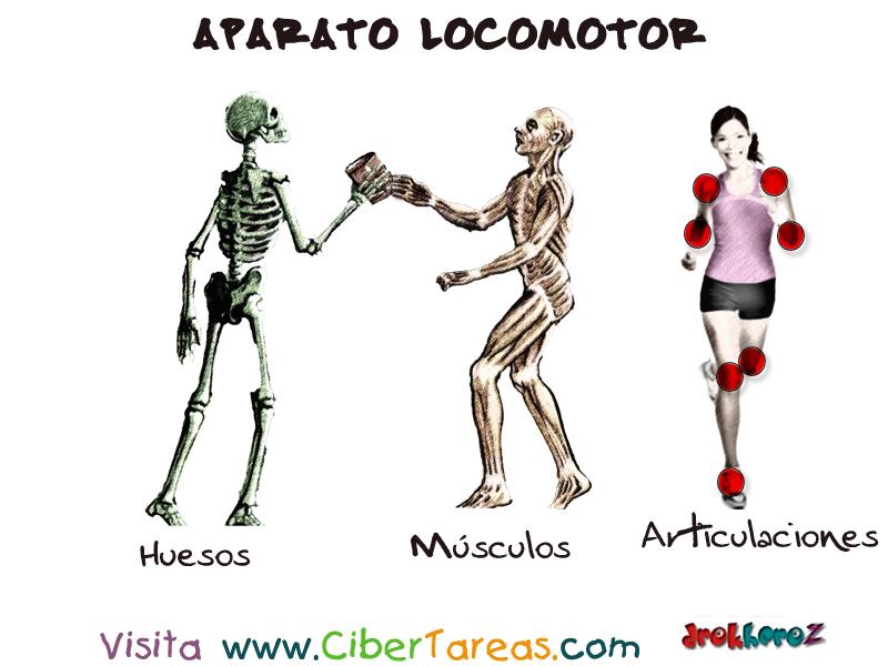 ANATOMÍA Y FISIOLOGÍA HUMANA 1: APARATO LOCOMOTOR