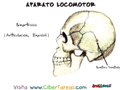 Sinartrosis_Articulacion Inmovil - Aparato Locomotor