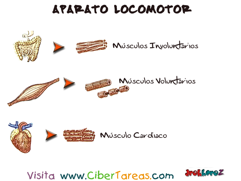 Sistema Muscular – Aparato Locomotor | CiberTareas