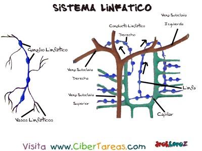 Drenaje Linfatico y su Red - Sistema Linfatico