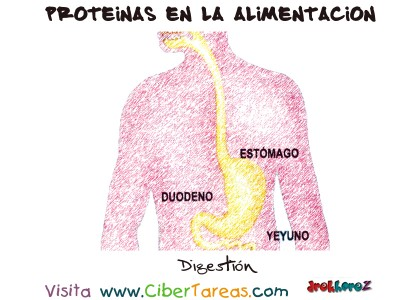 Digestion - Proteinas en la Alimentacion