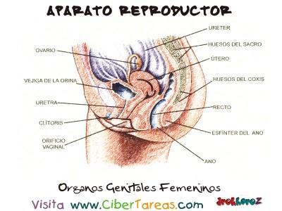Organos Genitales Femeninos - Aparato Reproductor