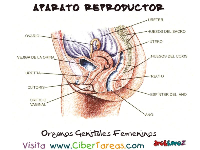 Organos del Aparato Reproductor Femenino | CiberTareas